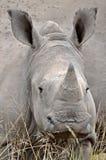 Baby White rhinoceros (Ceratotherium simum) Stock Image
