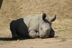 Baby White Rhinoceros Stock Photography