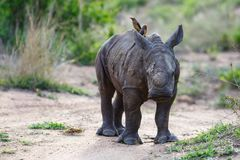 Baby rhinoceros with oxpecker. Baby white rhinoceros walking with red-billed oxpecker in Sabi Sands Game Reserve in the Greater Kruger Region in South Africa royalty free stock images