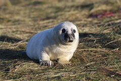 Baby white seal Stock Image
