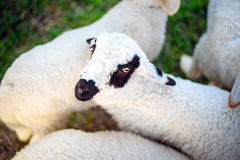 Baby white sheep in field Stock Images