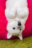 Baby white swiss shepherd hanging Stock Image