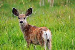 Baby white tail deer. This is a baby white tail deer in a field of green royalty free stock photo
