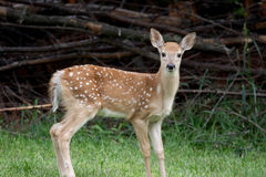 Baby White-tailed Deer royalty free stock image