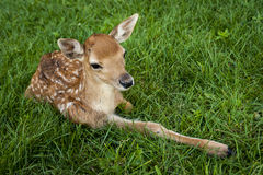 Baby White-tailed Deer. Just a little white-tailed deer sitting in the grass Royalty Free Stock Photography