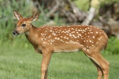 Baby White-tailed Deer & x28;Odocoileus virginianus& x29; royalty free stock images
