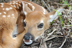 Baby white tailed fawn deer Stock Photos