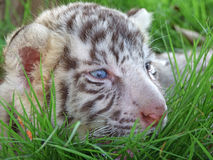 Baby white tiger. Chiang mai night safari Royalty Free Stock Photography