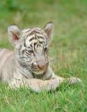 Baby white tiger. In chiang mai night safari Stock Photography