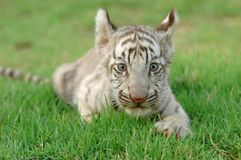 Baby white tiger. In chiang mai night safari Royalty Free Stock Images
