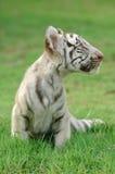 Baby white tiger. In chiang mai night safari Royalty Free Stock Image
