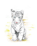 Baby white tiger Stock Images