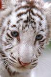 Baby white tiger Stock Image