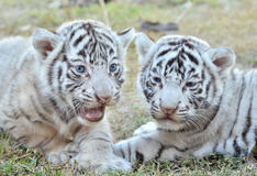 Baby white tiger. In zoo royalty free stock photo