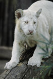 BABY WHITE TIGER royalty free stock photo
