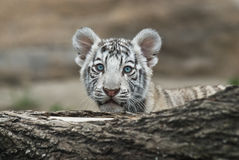 Baby White Tiger Stock Photography