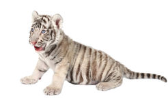 Baby white tiger. Baby white bengal tiger isolated on white background stock photo