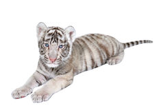 Baby white tiger. Baby white bengal tiger isolated on white background stock image