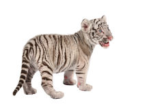 Baby white tiger. Baby white bengal tiger isolated on white background royalty free stock images