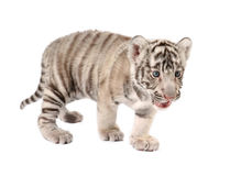 Baby white tiger. Baby white bengal tiger isolated on white background stock photography