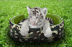 Baby white tiger laying in a mattress. On green grass stock images