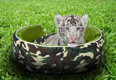 Baby white tiger laying in a mattress Royalty Free Stock Image