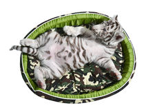 Baby white tiger laying in a mattress isolated Stock Photo