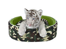 Baby white tiger laying in a mattress isolated. On white background stock image