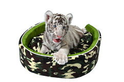 Baby white tiger laying in a mattress isolated Royalty Free Stock Photo