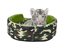 Baby white tiger laying in a mattress isolated Royalty Free Stock Images