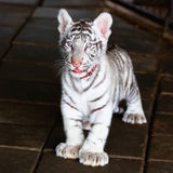 Baby white tiger looking Stock Image