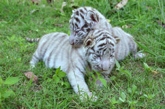 Baby white tiger playing on grass Royalty Free Stock Images