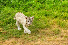 Baby white tiger. A small white tiger, Panthera tigris, walking in the green grass. The white tiger is present only in the Bengal tiger, the only one with the Stock Photos