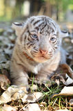 Baby white tigger Royalty Free Stock Photo