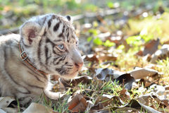 Baby white tigger Royalty Free Stock Photography