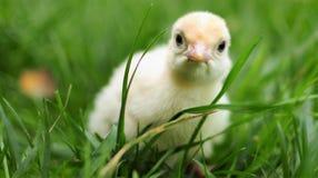 Baby white turkey Royalty Free Stock Photo