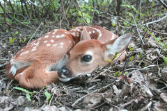 Baby whitetail deer fawn laying in the forest Royalty Free Stock Photography