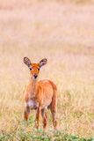 Baby Wild Antelope. Alone in the bush Stock Photography