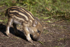 Baby wild boar royalty free stock images