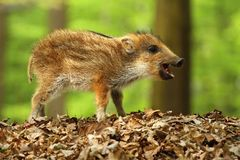 Baby wild boar chewing Royalty Free Stock Photography
