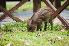Baby wild boar digging grass Royalty Free Stock Photo