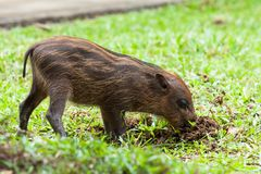 Baby wild boar digging grass Royalty Free Stock Image