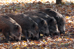 Baby of wild boar. Eathing in autumn forest Royalty Free Stock Images