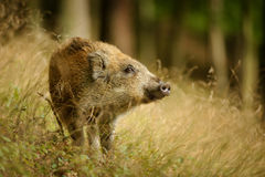 Baby wild boar in long yellow grass sniffing side Stock Image