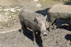 Baby wild boar on the mud floor Royalty Free Stock Image