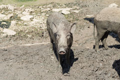Baby wild boar on the mud floor Royalty Free Stock Images