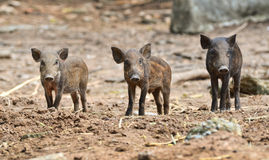Baby wild boar Stock Photography