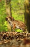 Baby wild boar screaming Royalty Free Stock Photo