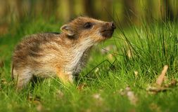 Baby wild boar sniffing Royalty Free Stock Images