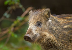 Baby wild boar in spring. Forest greenery Stock Photography